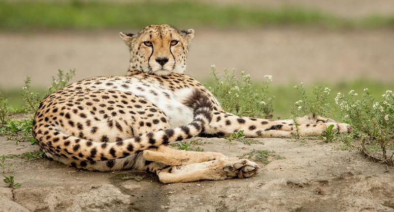 Lake Masek, Tanzania: Cheetah