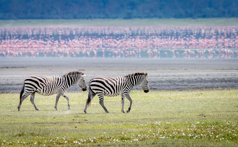 Ngorongoro Crater, Tanzania: Common Zebra