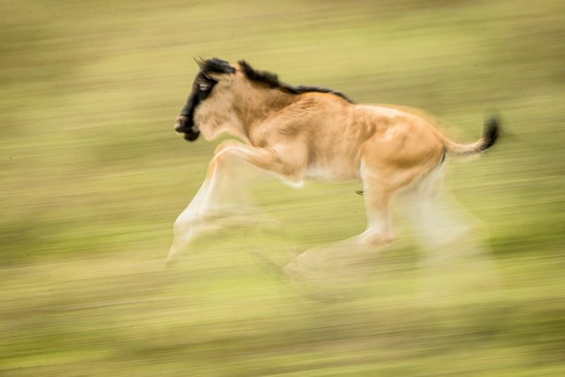 Serengeti, Tanzania: Wildebeest