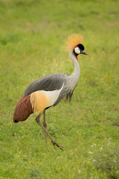 Lake Masek, Tanzania: Grey-crowned Crane