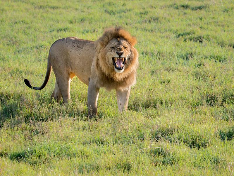 Ngorongoro Crater, Tanzania: Lion