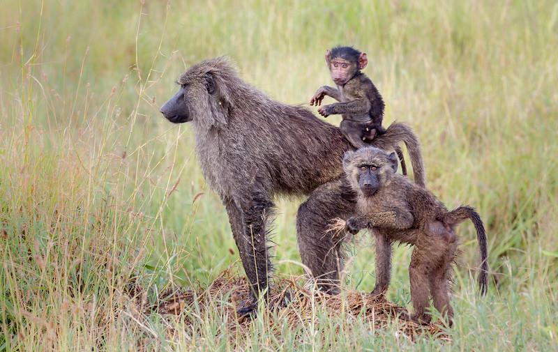 Serengeti, Tanzania: Olive Baboon