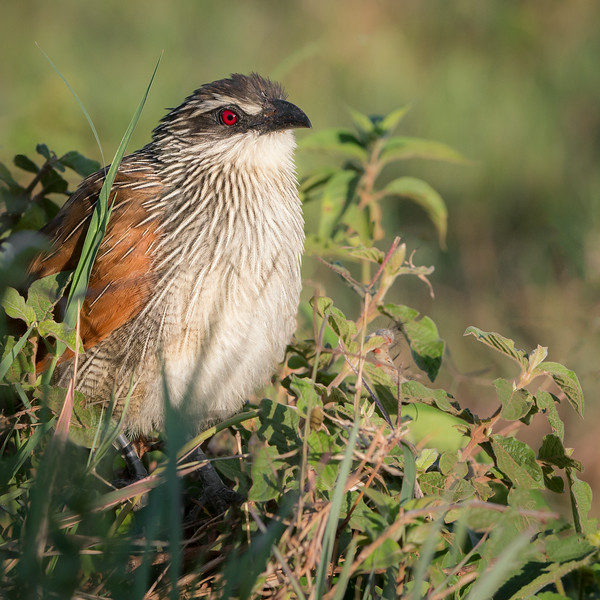 Ngorongoro Crater Rim, Tanzania: White-browed Coucal