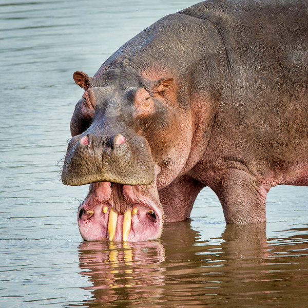 Serengeti, Tanzania: Hippopotamus