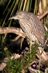 Juvenile Night Crowned Heron