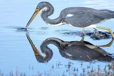 Tri-Colored Heron on the hunt