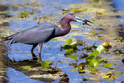 Little Blue Heron in Breeding Colors caught a crawfish