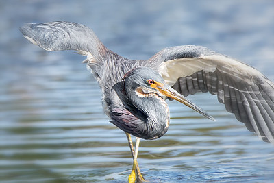 Tri-Colored Heron searching for food