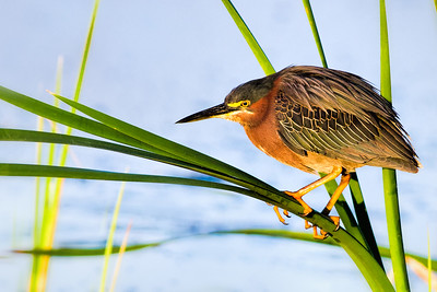 Green Heron at Viera Wetlands