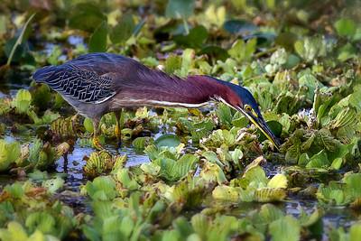 Green Heron at Orlando Wetlands Park