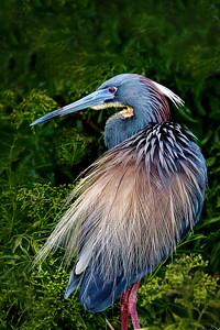 Tri-Colored Heron in Breeding Plumage