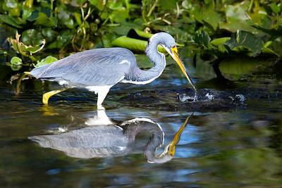 Tri-Colored Heron Fishing at the Orlando Wetlands