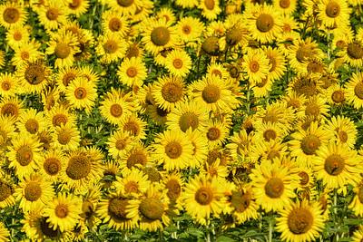 A sea of sunflowers