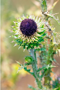 Autumn Thistle in Yellowstone National Park