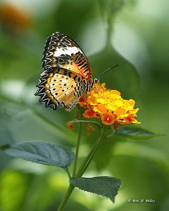 Panther Lacewing Butterfly