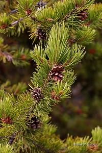 Lodgepole Pine Cones