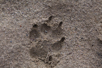 Wolf Tracks in the Wilderness