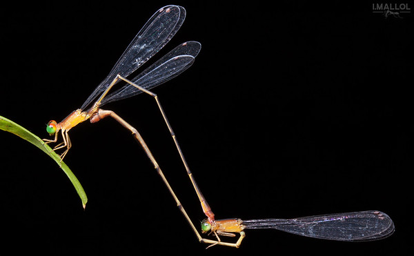 Damselflies matting