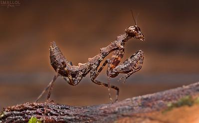 Brown & little mantis
