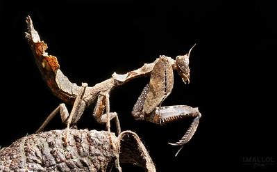 Mantis over dry leaf ( Acanthops sp.)