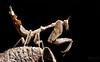 Mantis over dry leaf