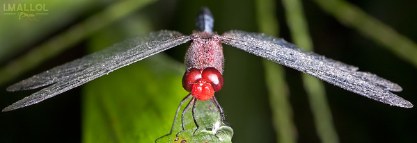 Dragonfly resting (Erythrodiplax fusca)