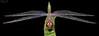 Dragonfly resting II