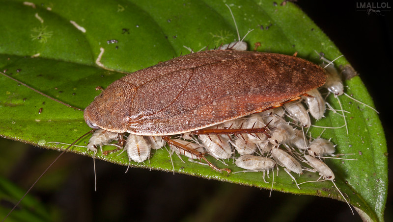 Cockroach with offspring