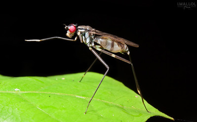 Stilt-legged Fly (Poecilotylus sp.)