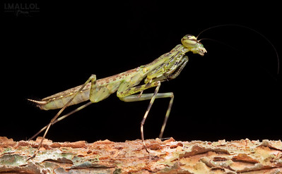 Green Mantis ( Liturgusa sp.)