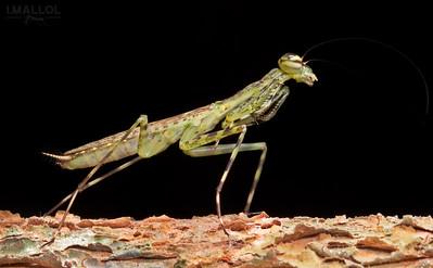 Green Mantis ( Liturgusa sp.)
