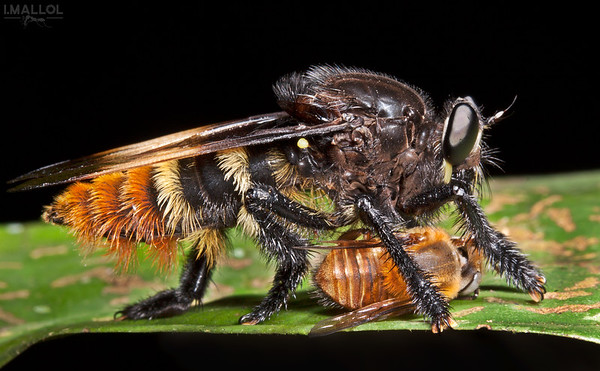 Giant robber fly prepares a bee for dinner