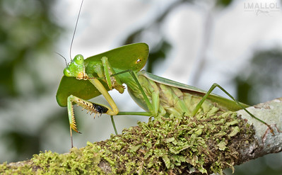 Choeradodis sp. (Mantis) cleaning its legs... has only one ear!!!