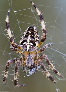 Cross spider (Arnaneus diadernatus)