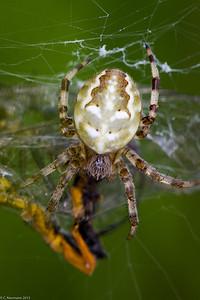 Cross spider (Araneus marmoreus)