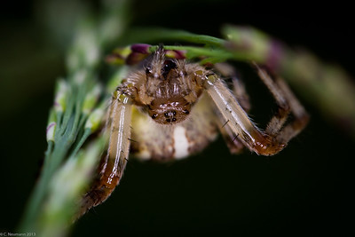 Furrow Spider (Larinoides cornutus)