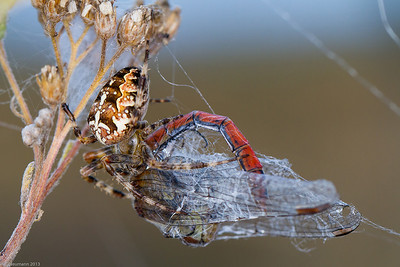 Cross spider and dragonfly