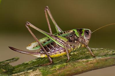Wart-biter Cricket, female (Decticus verrucivorus()
