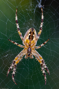Cross spider (Arnaneus diadernatus) ventral view