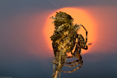 Spider and setting sun