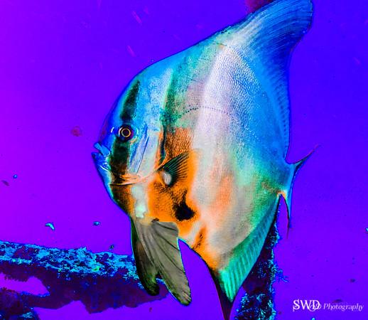 Longfin Spadefish
