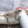Hernandez's Short-horned Lizard