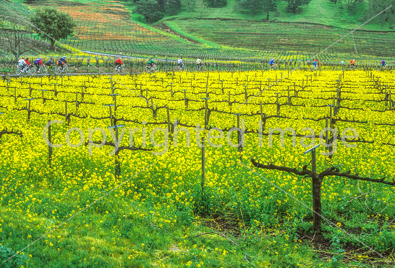 Cyclists in northern California's wine country - 1-Edit - 72 ppi