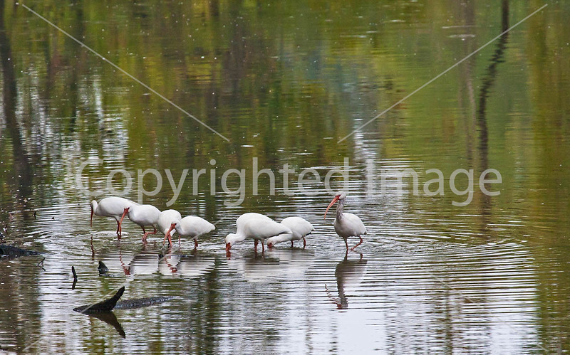 Louisiana wildlife in stream near Yucatan Lake along Grant's Campaign - D4-C4-0028 - 72 ppi