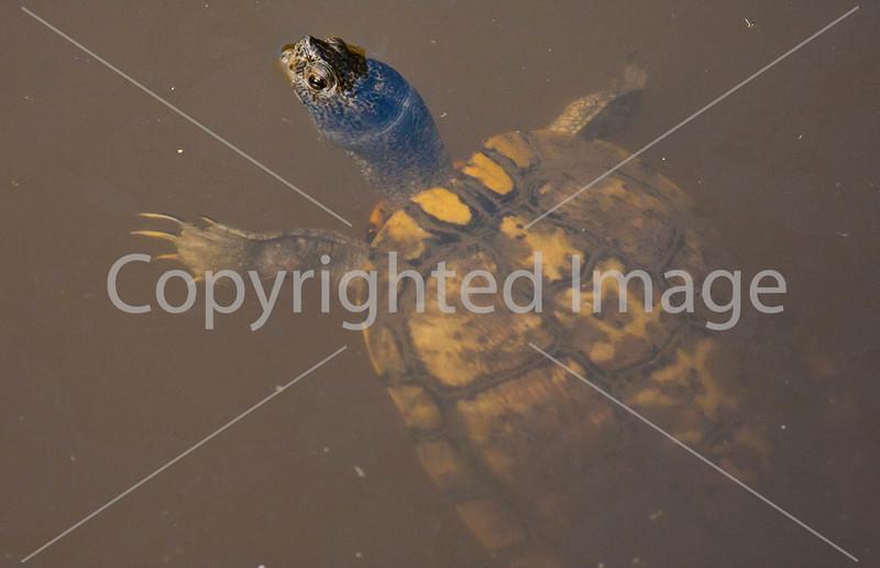Louisiana wildlife in stream near Yucatan Lake along Grant's Campaign - D4-C4-0101 - 72 ppi