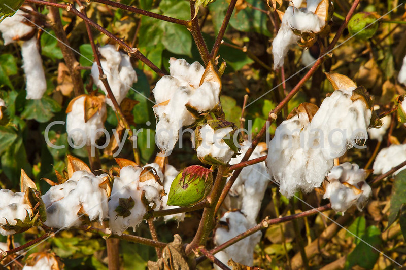 Cotton field along bayou road on Grant's March route in Louisiana - D4-C3-0077 - 72 ppi