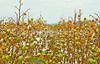 Cotton field along bayou road on Grant's March route in Louisiana - D4-C3-0092 - 72 ppi