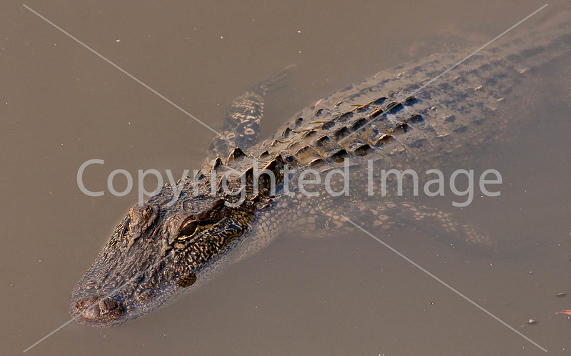 Louisiana wildlife in stream near Yucatan Lake along Grant's Campaign - D4-C4-0096 - 72 ppi