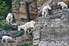 Glacier Nat'l Park - Rocky Mountain goat -0182 - 72 ppi