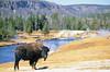 Bison, Firehole River, Yellowstone - 4 - 72 dpi